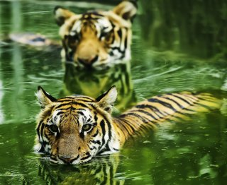 international tiger day_crop